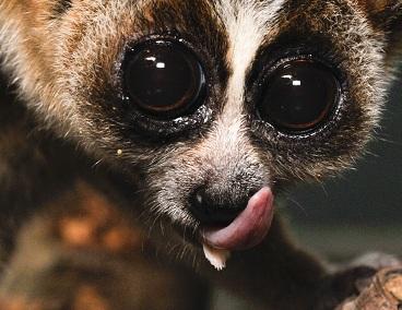 Maskotka ataku Slow HTTP Headers DoS – małpka z rodziny lorisowatych (źródło)